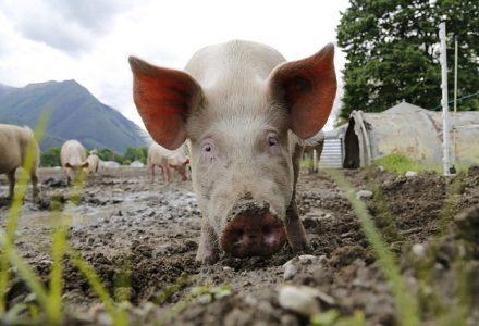 Varkens in een Pure Graze weide