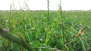 Kruiden, klavers en grassen in de weide